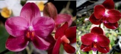 Phalaenopsis Chang Jih Lady x Mituo Sun x (Ching Her Buddha x Mituo Sun)