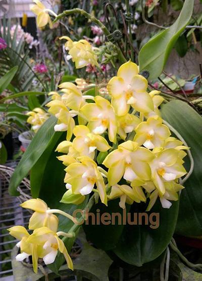 Phalaenopsis Chang Maw Jade 'Nan'