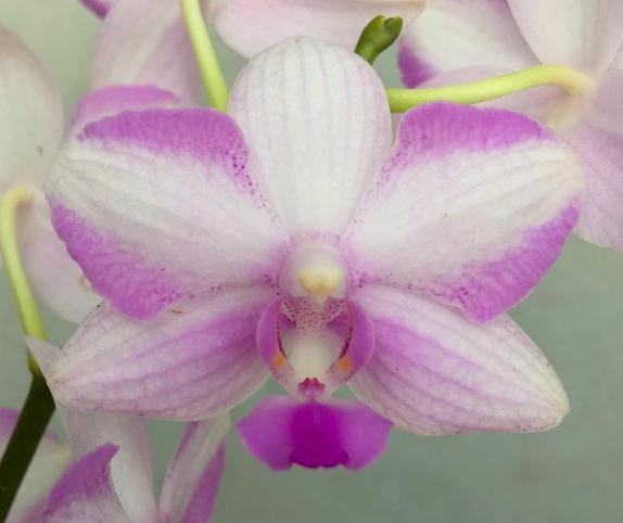 Phalaenopsis Chiada Alice x bellina