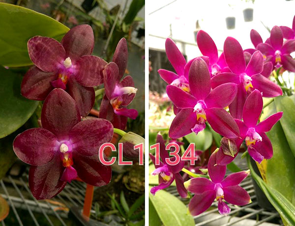 Phalaenopsis Chienlung Blood Diamond