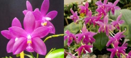 Phalaenopsis Chienlung Claret x Java