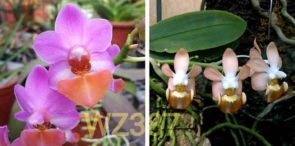 Phalaenopsis Chienlung Cute Lobi