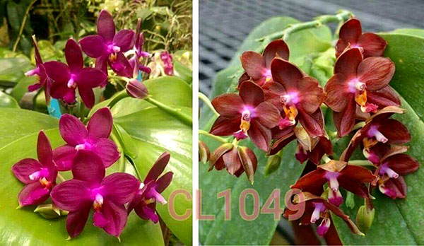 Phalaenopsis Chienlung Eagle King