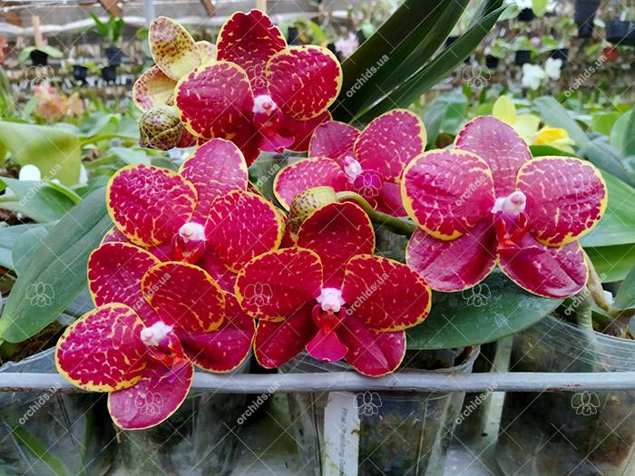 Phalaenopsis Chienlung Golden Diamond