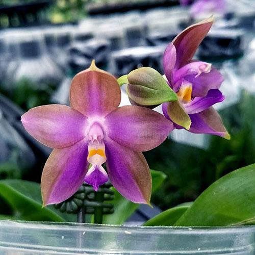 Phalaenopsis Chienlung Phoenix