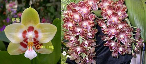 Phalaenopsis Chienlung Sweetheart x gigantea