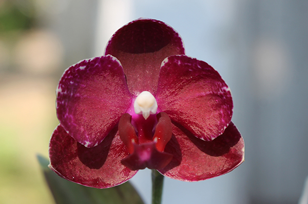 Phalaenopsis Chingruey's Fancy 'Red Wine'