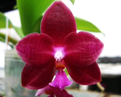 Phalaenopsis Coral Isles x Princess Kaiulani 'TH'