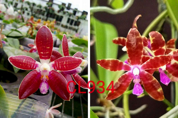 Phalaenopsis corningiana 'Chienlung' x bastianii 'CLR'