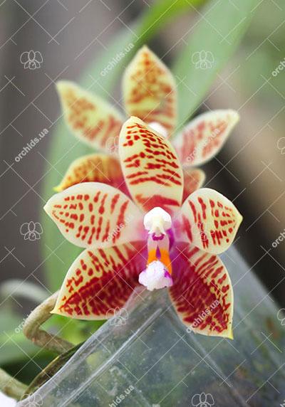 Phalaenopsis corningiana 'Ching Hua'