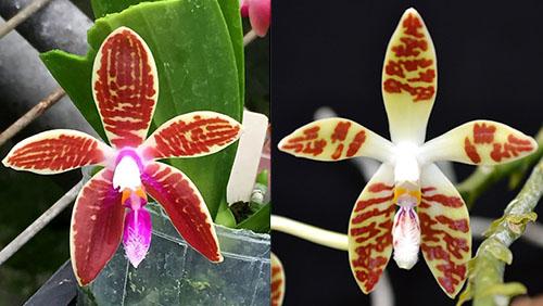 Phalaenopsis corningiana x sumatrana