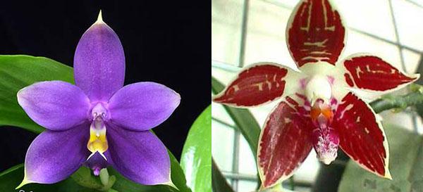 Phalaenopsis Corning's Violet indigo type
