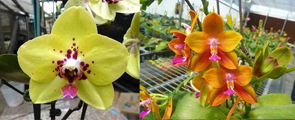 Phalaenopsis Diamond Beauty '1202' x Ld's Bear King 'YK7'