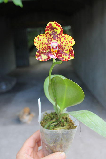 Phalaenopsis Diamond Beauty '1202' x Ld's Bear King 'YK7' (select #48)