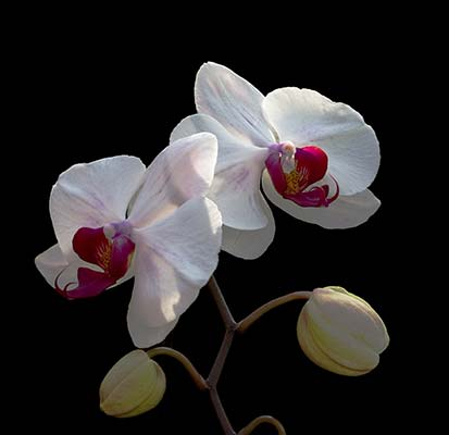 Phalaenopsis Doisaket Hot Lips x Phalaenopsis Lucifer Cloud Hot Lips