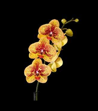 Phalaenopsis Elegant Charms