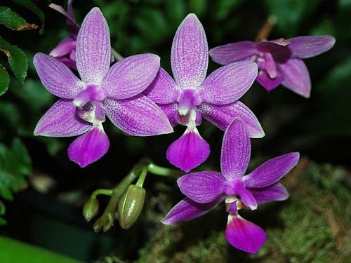 Phalaenopsis Equalacea (Phalaenopsis equestris x violacea)