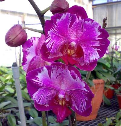 Phalaenopsis Formosa Rose