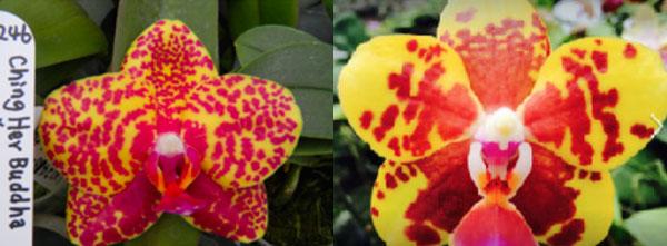 Phalaenopsis (Fortune Buddha x Haur Jin Diamond) x (Ching Her Buddha x Tai-Yi Yellow Bird)