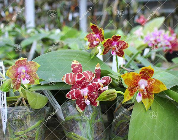 Phalaenopsis (Gelblieber 'B#1' x Hsia's Focus) x Magnificent Mibs