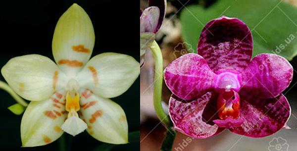 Phalaenopsis (Gelblieber x I-Hsin Spot Eagle)