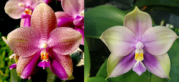 Phalaenopsis (Gigabell 'Kung Sir' x Mituo Prince 'BB')