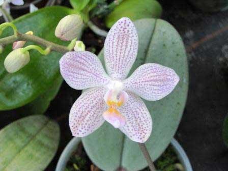 "Phalaenopsis gigantea ""JF5"" x Baguio"