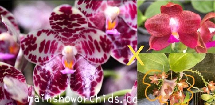Phalaenopsis gigantea 'MS' x (Ld's Bear King x javanica) Red