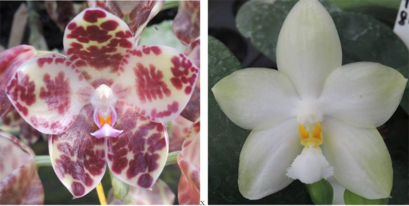 Phalaenopsis gigantea x Yungho Gelblitz