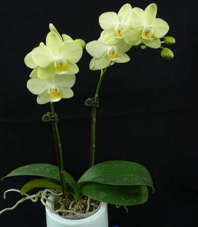 Phalaenopsis Green Pixie