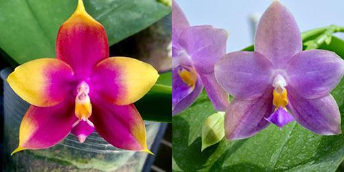 Phalaenopsis (Hawaii Dragon Girl x Penang Violacea)