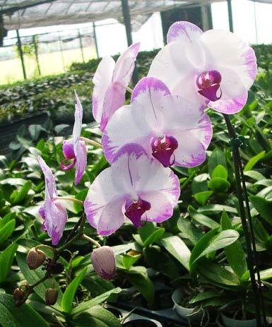 phalaenopsis hinamtsuri rainbow star