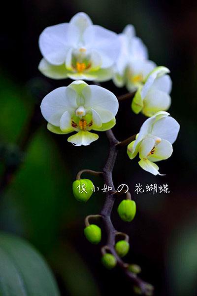 Phalaenopsis Ho's Amaglad