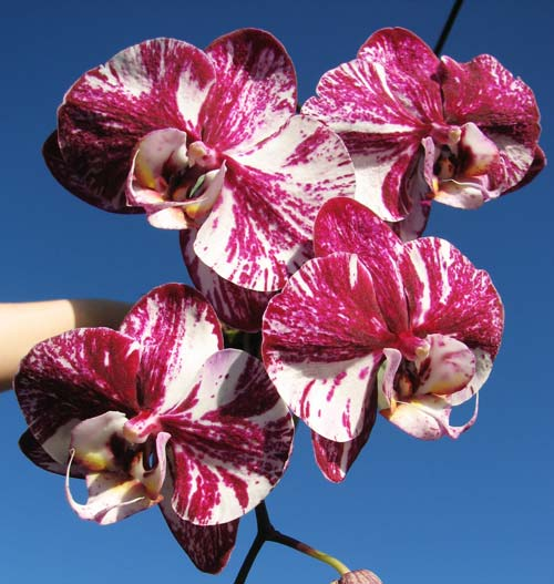 Phalaenopsis hybrid mix