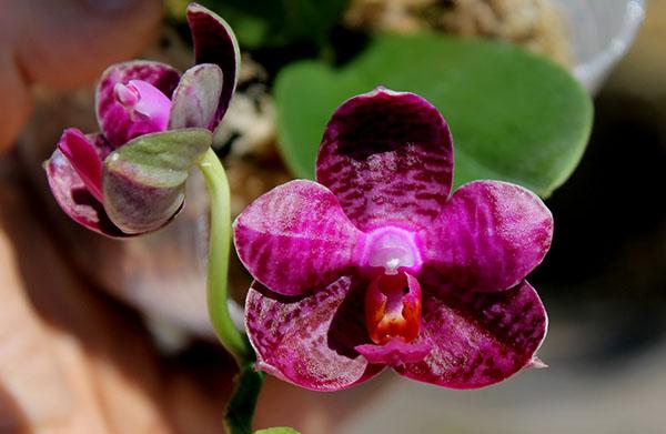 Phalaenopsis I-Hsin 'Spot Eagle'