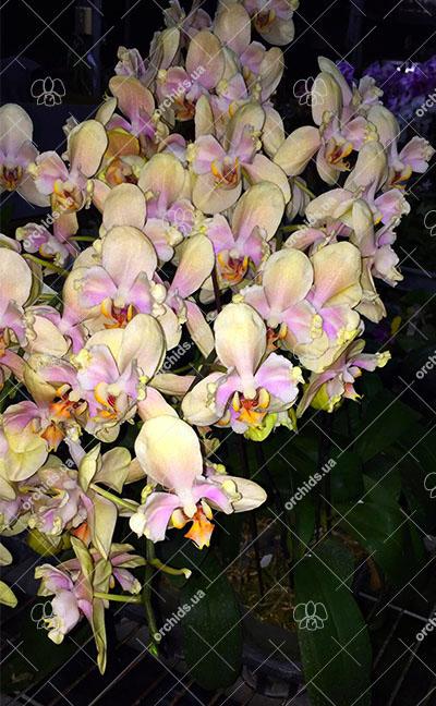 Phalaenopsis 'Ito' peloric