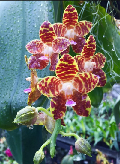 Phalaenopsis Jade Gold (gigantea x venosa 'Red')
