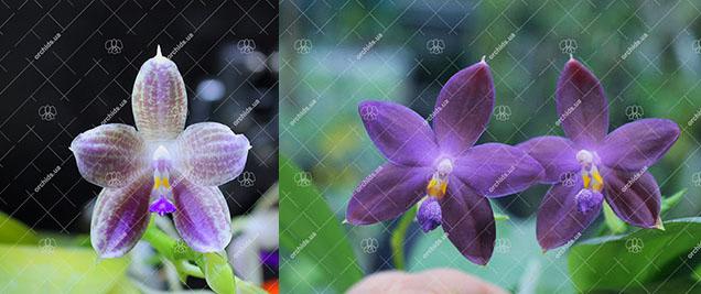 (Phalaenopsis javanica x Ld's Bear Queen) x (( tetraspis x speciosa) x violacea indigo)