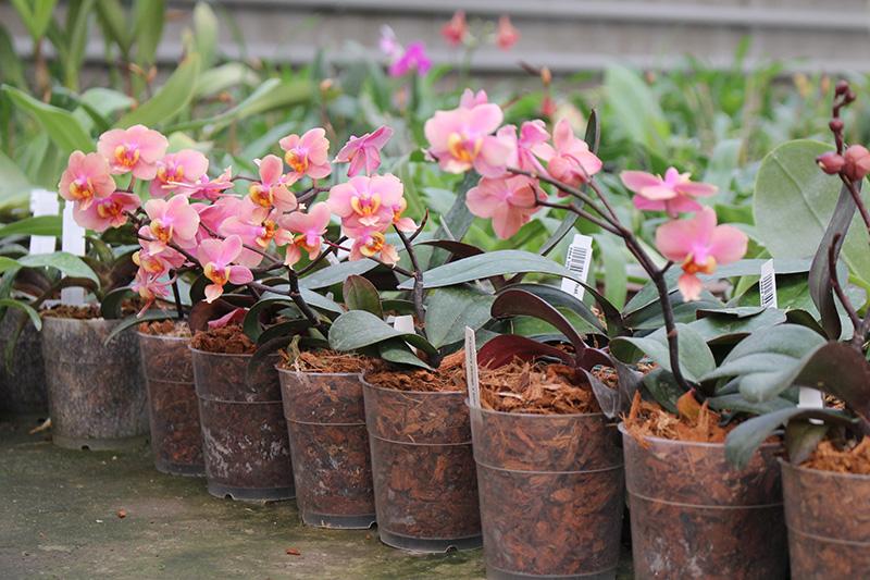 Phalaenopsis (Jiaho's Orange x schilleriana ) 'KF'
