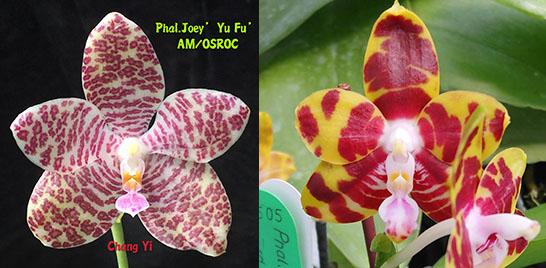 Phalaenopsis Joey 'Yu Fu' x Kung's Red Cherry 'Jon'