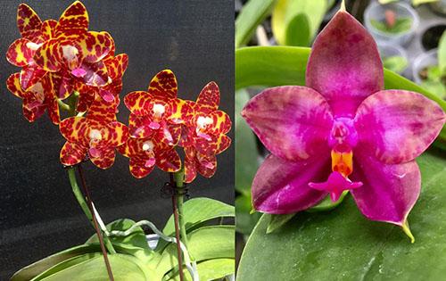 Phalaenopsis (Jong's Gigan Cherry x Miro Super Star)