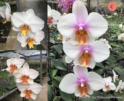 Phalaenopsis Joy Philippine Princess
