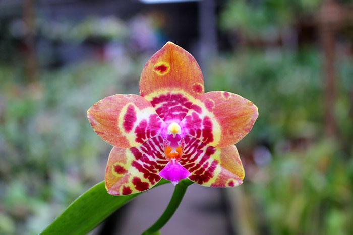 Phalaenopsis Joy Spring Tina 'Anaconda' (Natasha x Hsu Li-Shian)