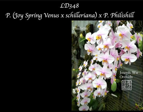 Phalaenopsis (Joy Spring Venus x schilleriana) x Philishill
