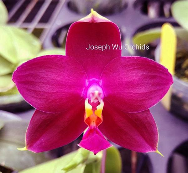 Phalaenopsis Joy Viol Kaiulani (Sogo Kaiulani x violacea indigo)