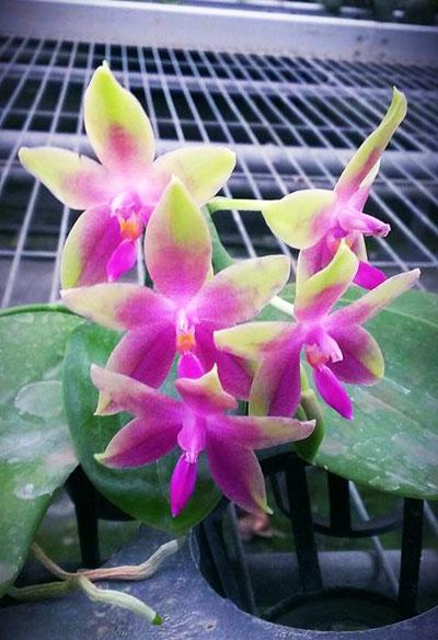 Phalaenopsis KS Happy Eagle x tetraspis 'Red #1'