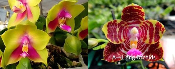 Phalaenopsis KS Happy Eagle x Zheng Min Tyrannosaurus