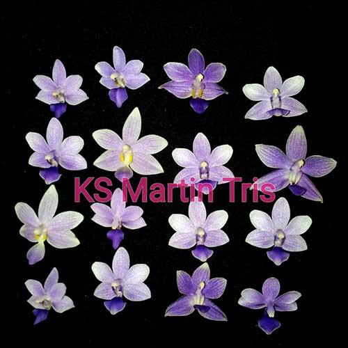 Phalaenopsis KS Martin Tris