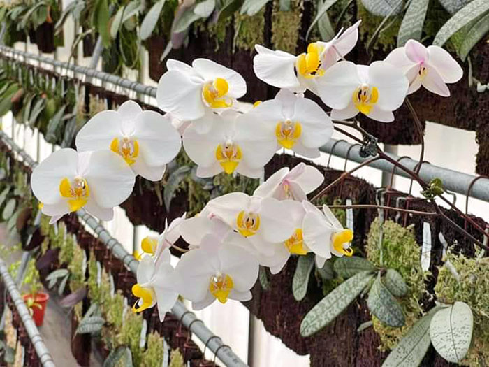 Phalaenopsis Kung's Amar Phillip