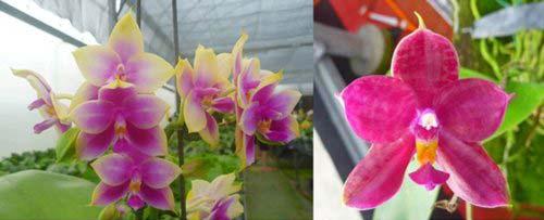 Phalaenopsis Ld Bellina Eagle x Prima